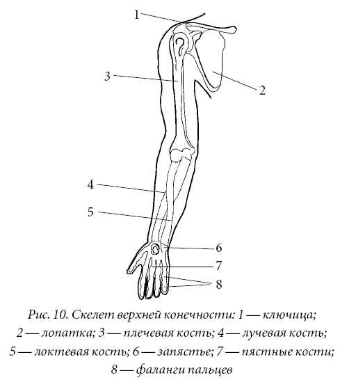 Кости и суставы предплечья протезирование коленного сустава в питербурге