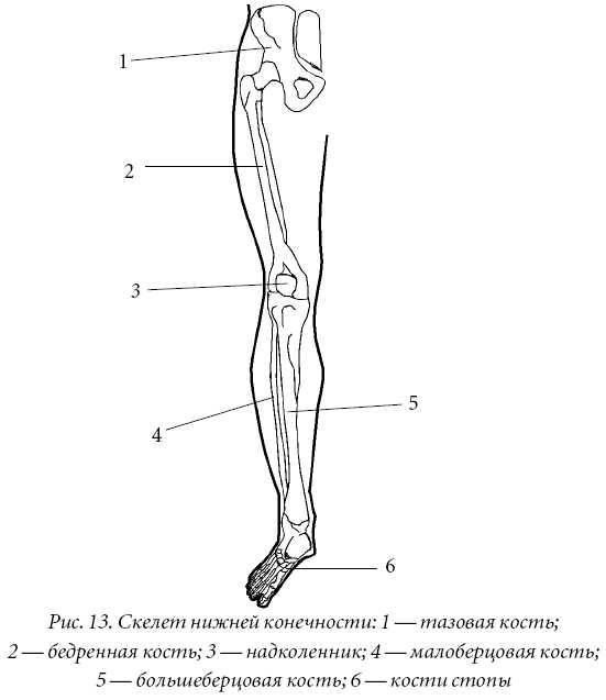 Скелет нижней конечности суставы лекарство для коленного сустава